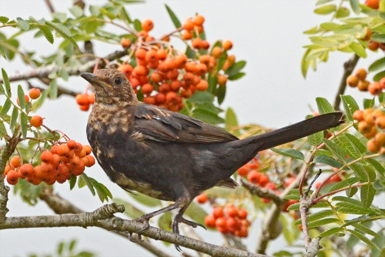 blackbird among 1rowans
