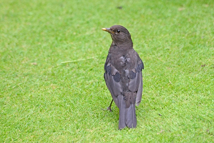blackbird back