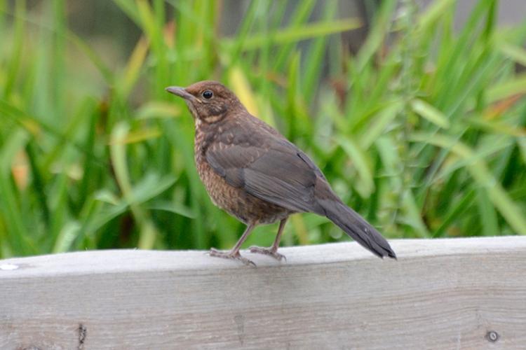 blackbird on bench