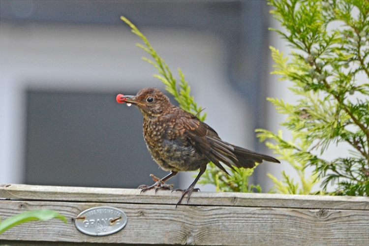 blackbird on fence with berry