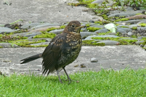 blackbird on lawn august