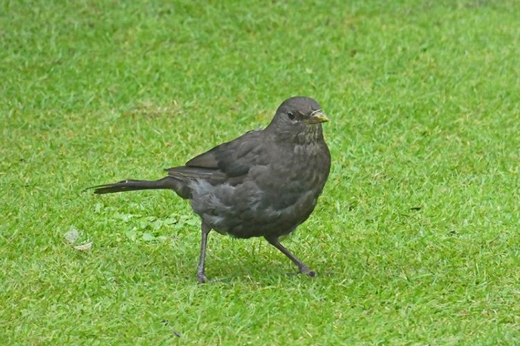 blackbird on lawn