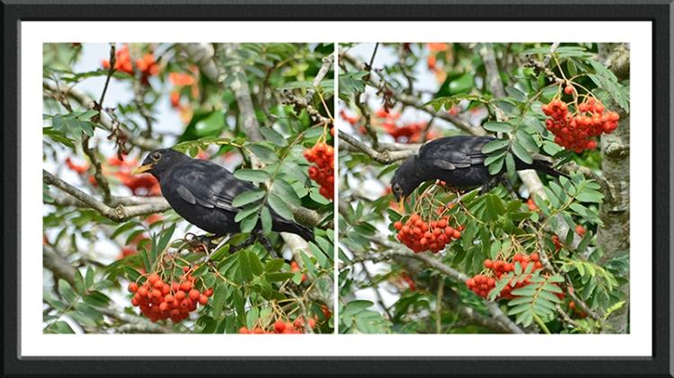 blackbird panel in rowan