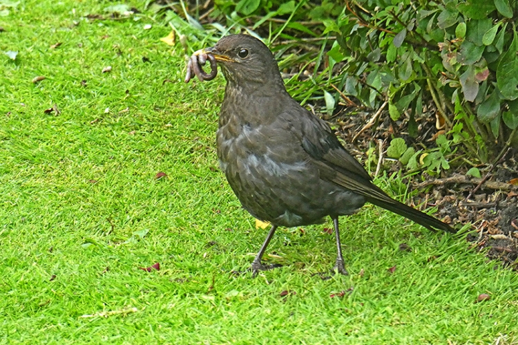 blackbird with worms