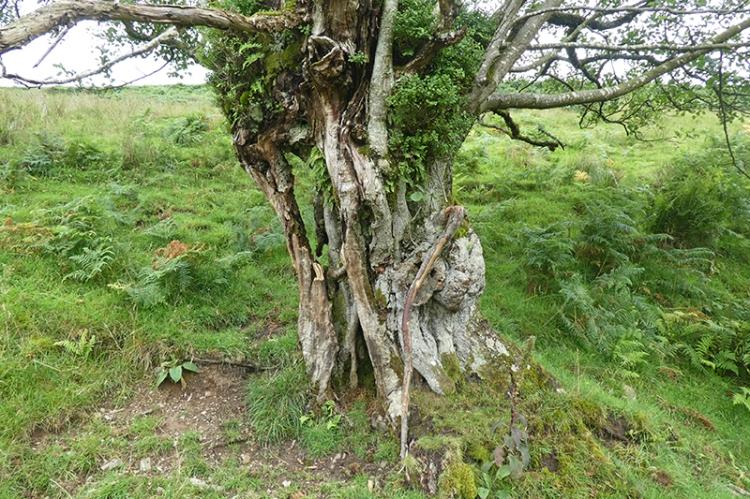 Boyken burn tree