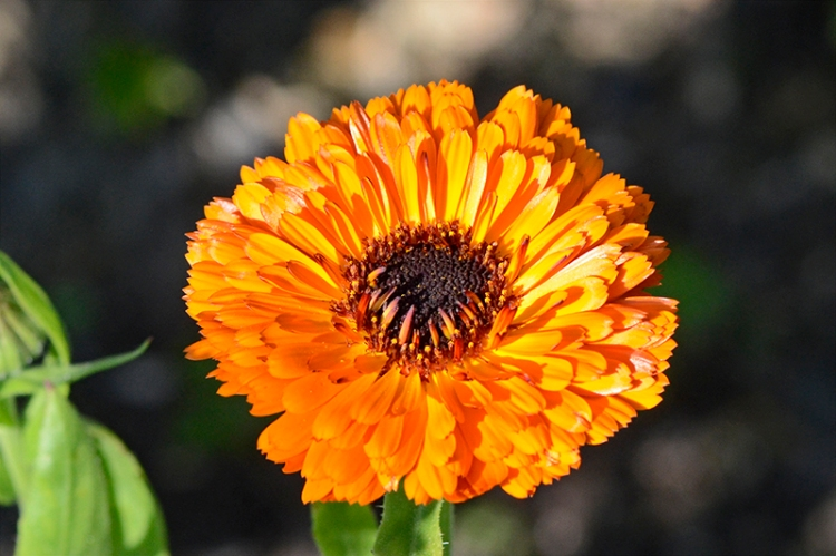 bright calendula