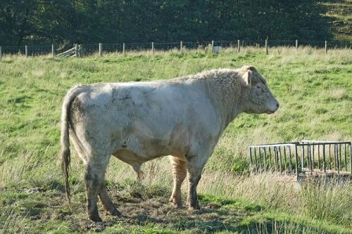 bull at wauchope SH