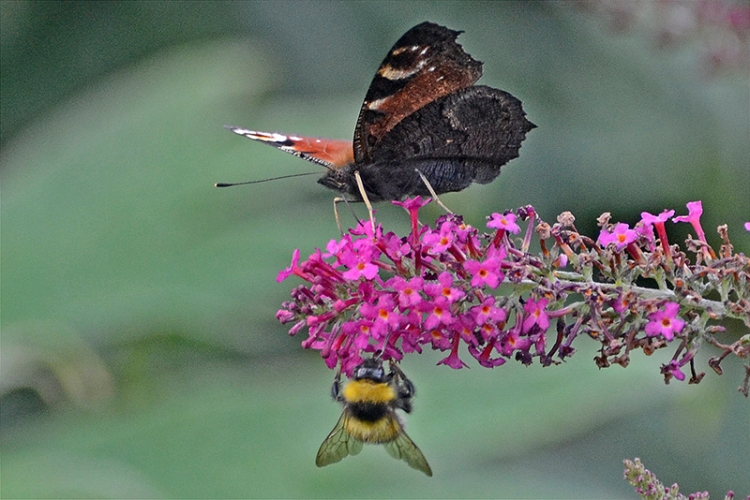 butterfly and bee on buddleia