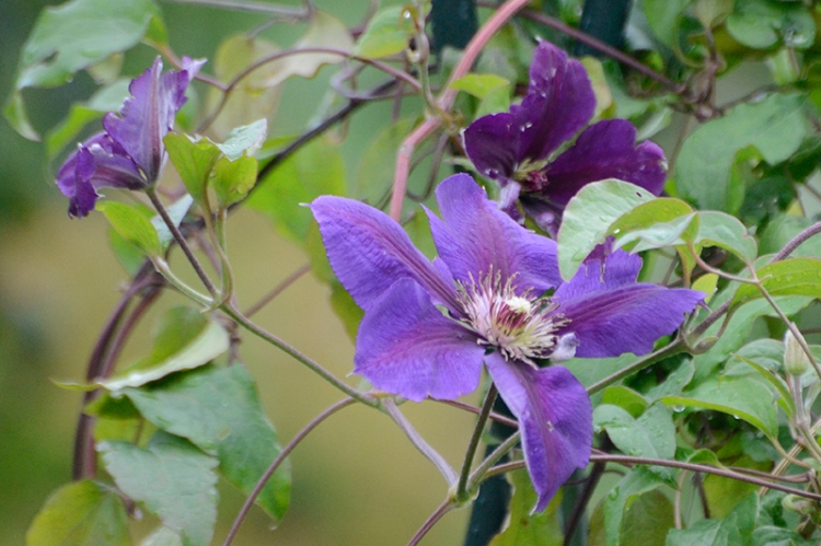 clematis flood day