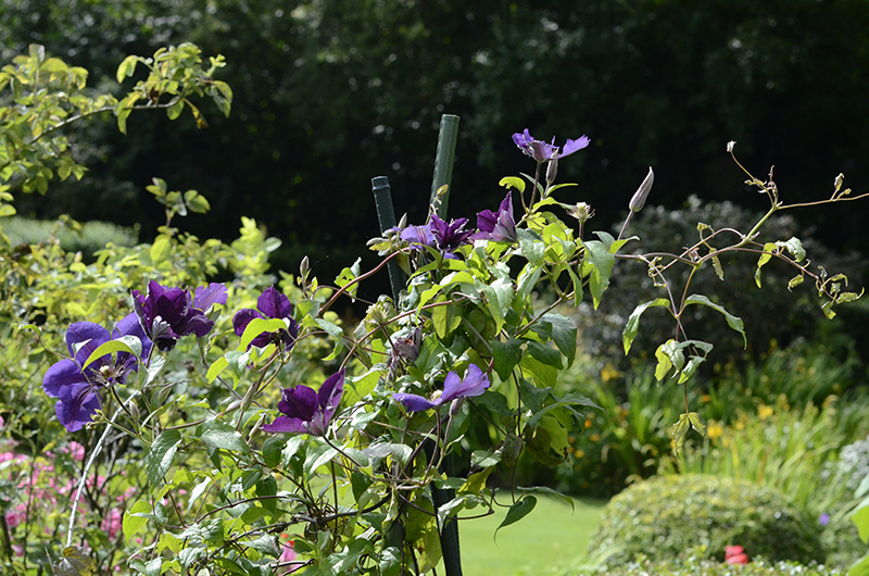 clematis in sun
