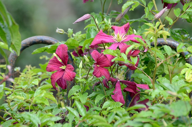 clematis on fence