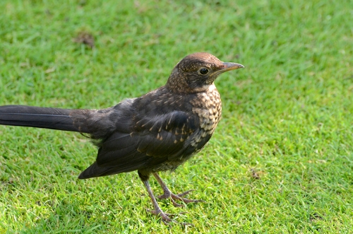 close blackbird