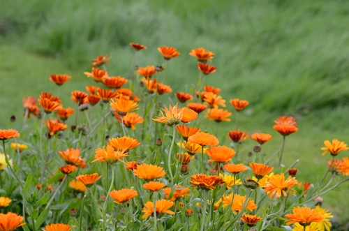 clump of calendula