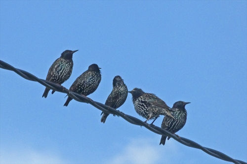convocation of starlings