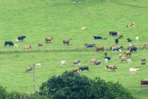 cows in annandale