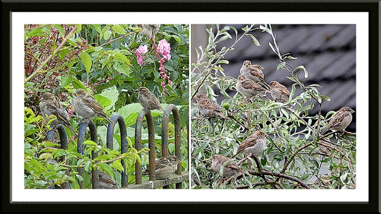 crowds of sparrows