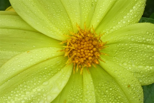 dahlia with droplets