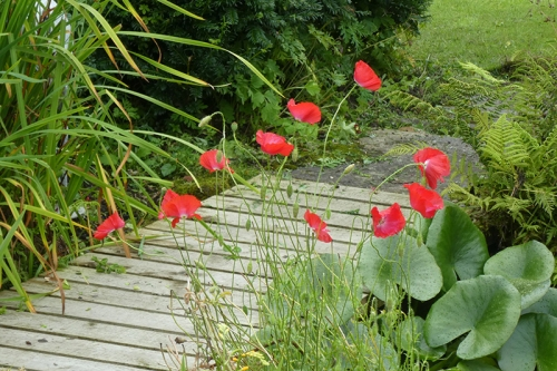 dainty poppies