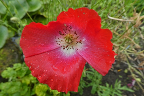 dainty poppy