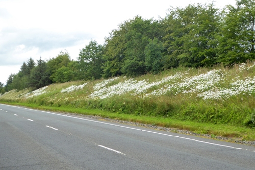 daisies on Canonbie by-pass