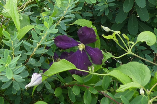 deep purple clematis