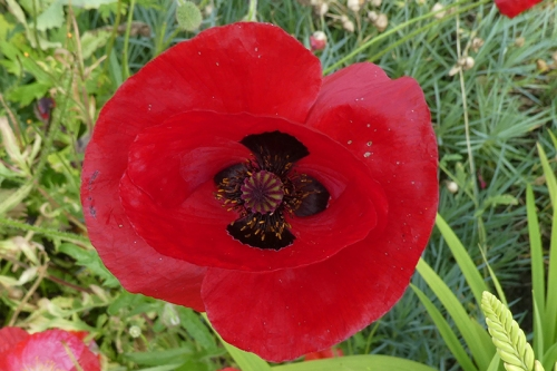 deep red poppy