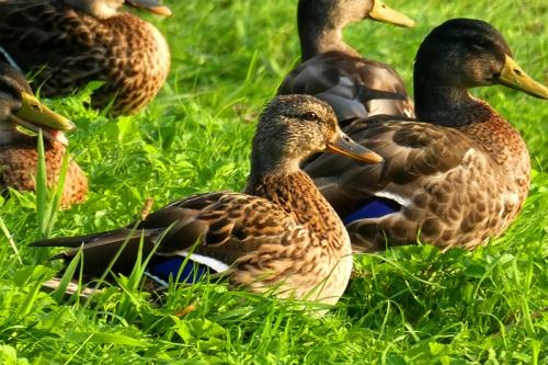 ducks at sunset