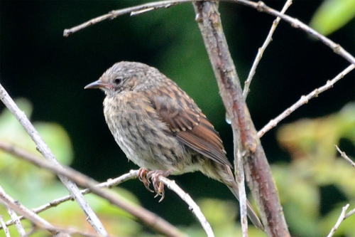 dunnock on fake tree