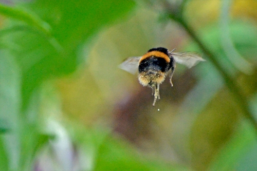 enrmous flying bee