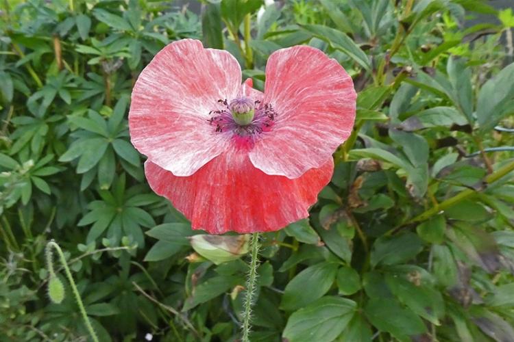 faded poppy