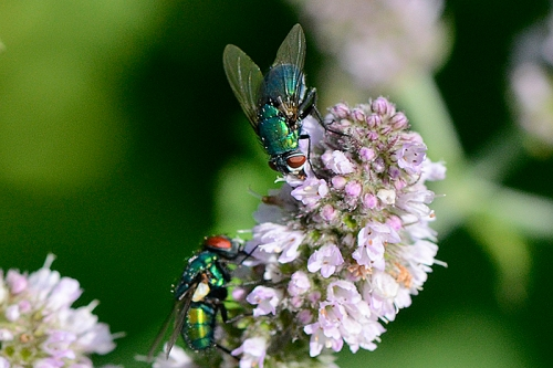 flies on mint 1
