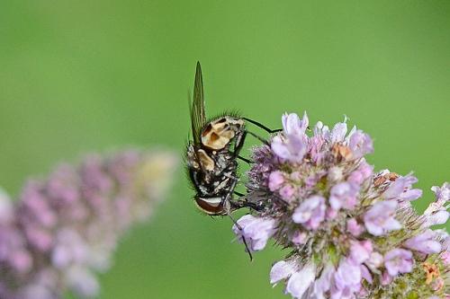 flies on mint 2