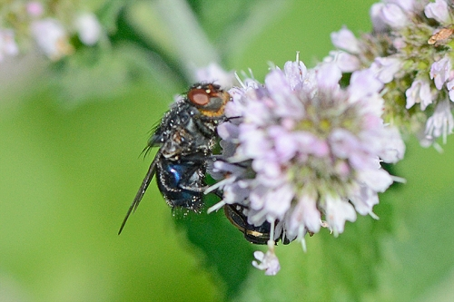 flies on mint 3