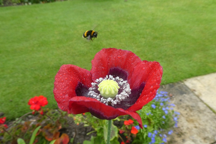 flying bee with poppy