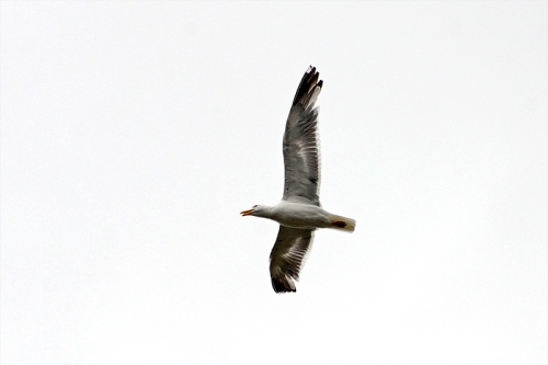 flying gull overhead