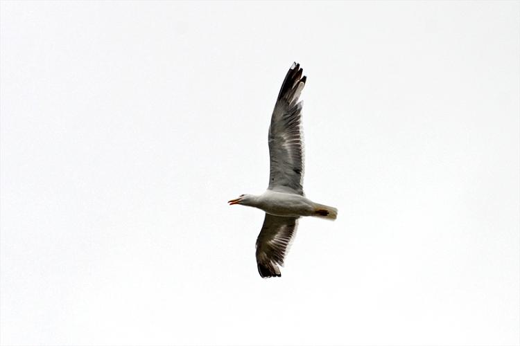 flying gull overhead