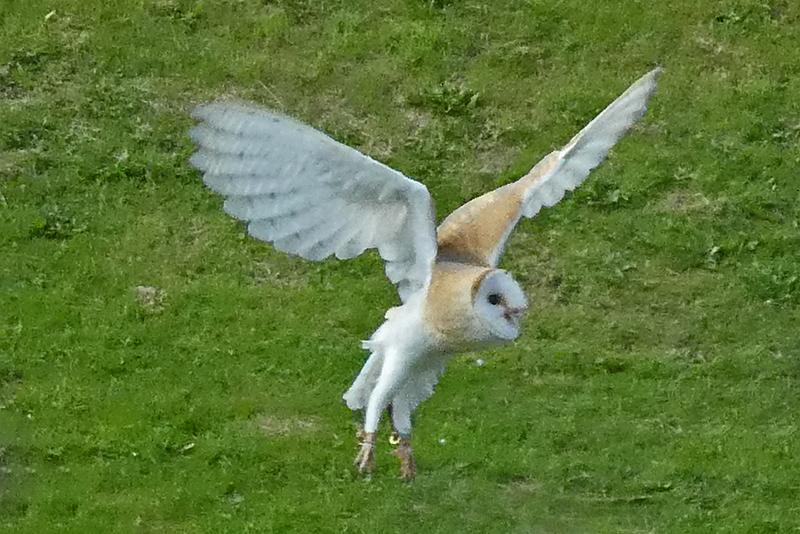 flying owl canonbie