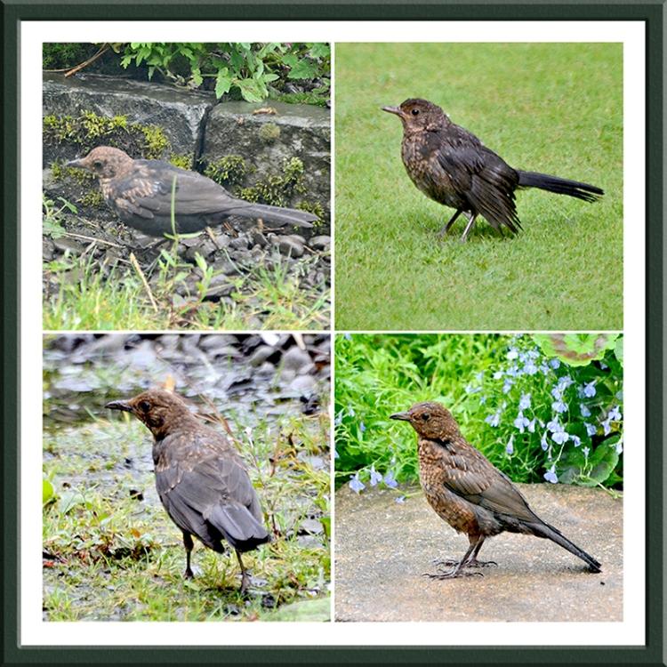 four blackbirds