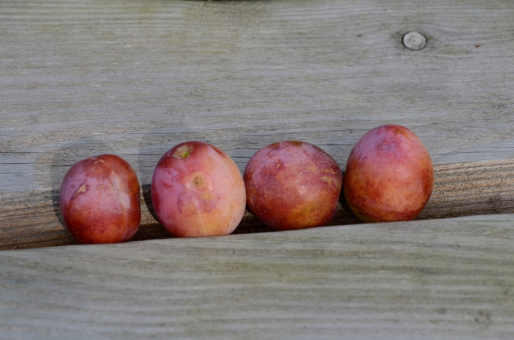 four plums on bench