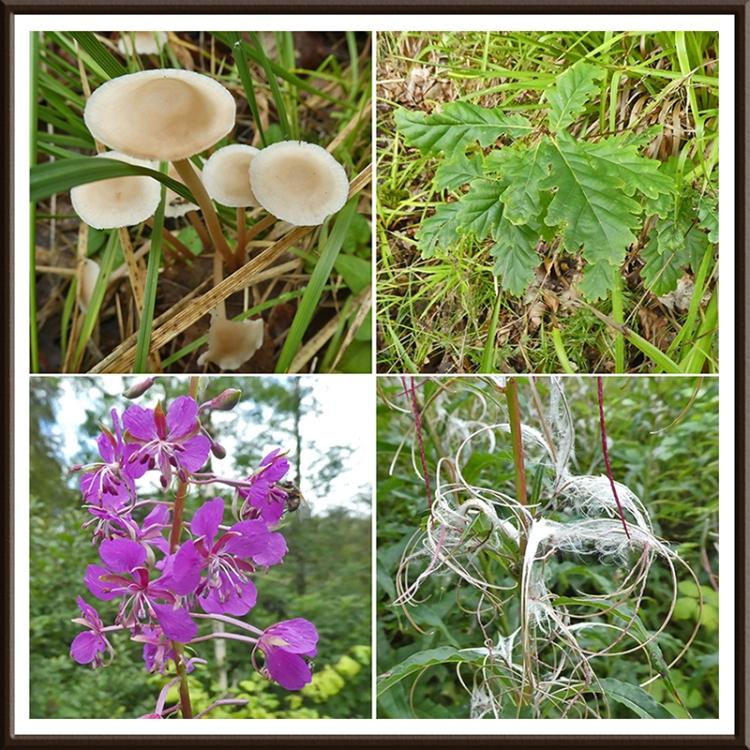 fungus, oak, fireweed