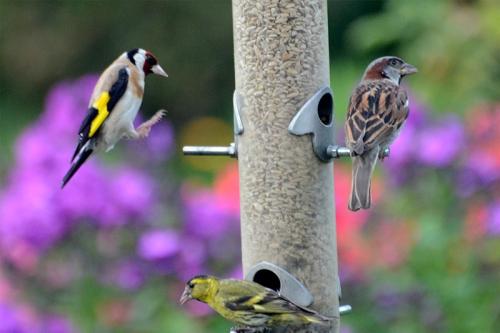 goldfinch sparrow siskin
