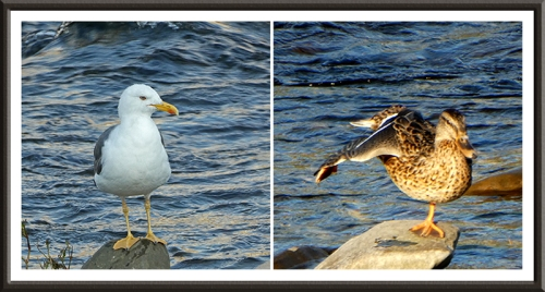 gull and mallard by Esk