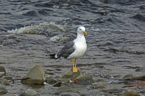 gull on rock august