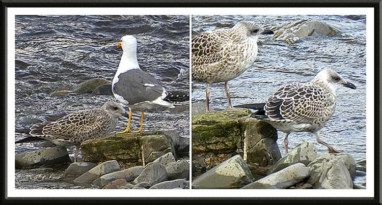 gulls on the esk
