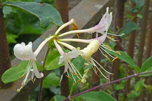 honeysuckle with stamens