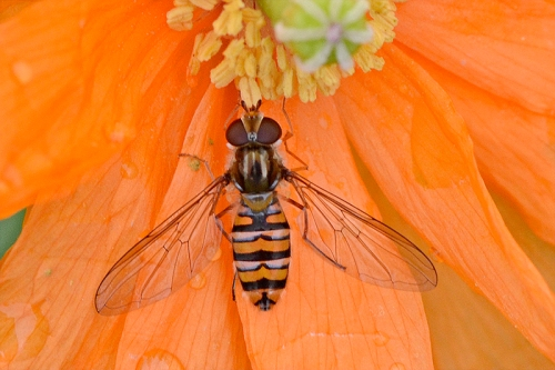 hoverfly icelandic poppy