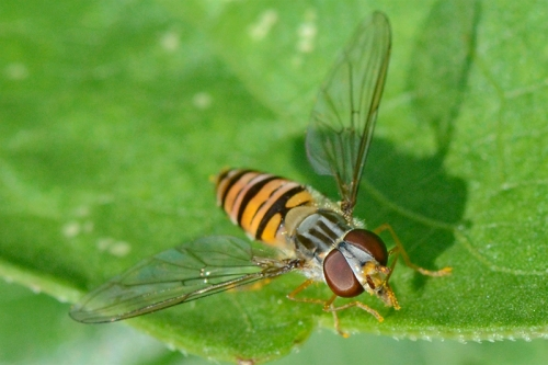 hoverfly on leaf