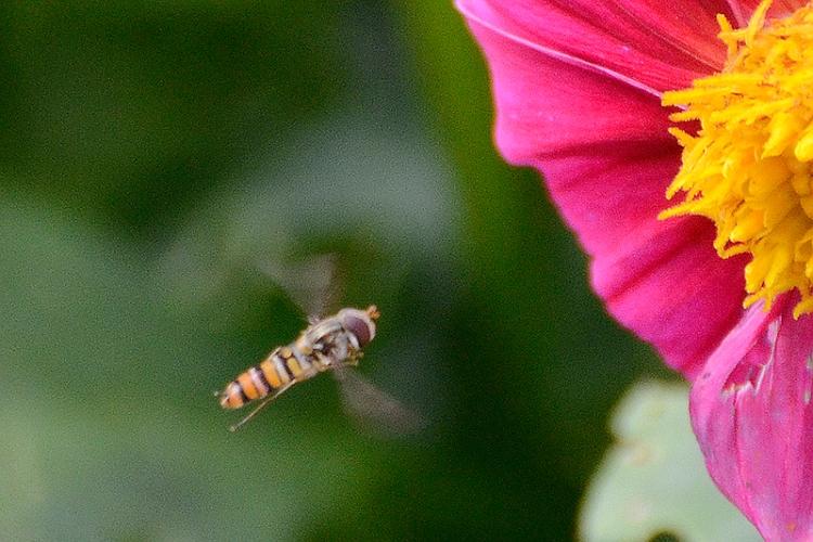 hoverfly visiting dahlia