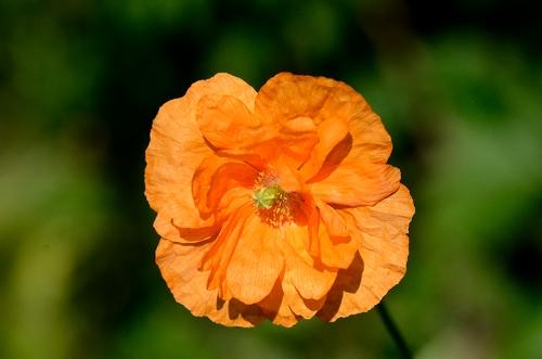 icelandic poppy in sun