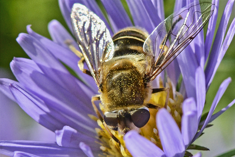 insect on Michaelmas daisy 2